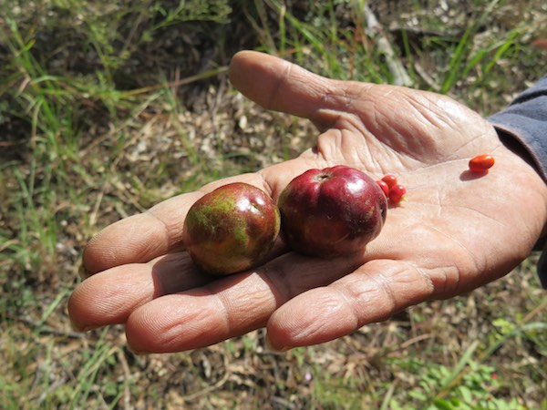 Ethnobotany and bush tucker